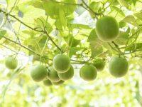 Monk Fruit growing